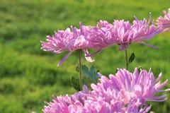 Flores de la momia Imagen de archivo libre de regalías