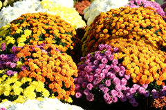 Flores de la momia del otoño imágenes de archivo libres de regalías