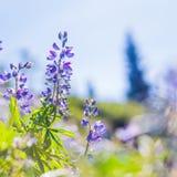 Flores de la montaña fotos de archivo libres de regalías