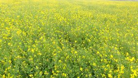 Flores de la mostaza Fotos de archivo libres de regalías