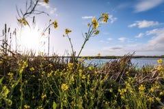 Flores de la mostaza en el pantano Fotos de archivo