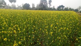 Flores de la mostaza, Napa Valley fotografía de archivo