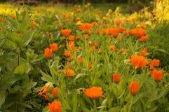 Flores de la naranja de la maravilla del Calendula Foto de archivo