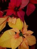 Flores de la Navidad Imagen de archivo libre de regalías