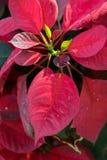 Flores de la Navidad Imagenes de archivo