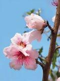 Flores de la nectarina contra un cielo azul brillante fotografía de archivo
