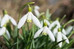 Flores de la nieve del primer con descensos del agua Imagen de archivo libre de regalías