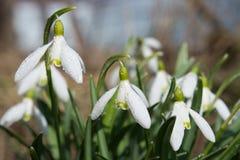 Flores de la nieve del primer con descensos del agua Foto de archivo
