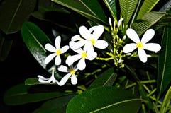 Flores de la noche Fotografía de archivo libre de regalías