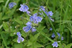 Flores de la nomeolvides en resorte Fotos de archivo