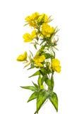 Flores de la onagra, aisladas en blanco Foto de archivo libre de regalías