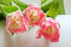 Flores de la opinión rosada suave del primer de los tulipanes Fotos de archivo libres de regalías