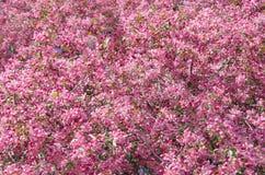 Flores de la orientación de la vertical del manzano del paraíso Foto de archivo
