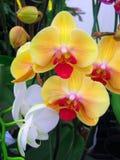 Flores de la orquídea Foto de archivo libre de regalías