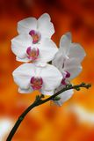 Flores de la orquídea Fotografía de archivo