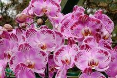 Flores de la orquídea de Blume del Phalaenopsis Imagenes de archivo