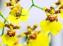 Flores de la orquídea de la Baile-Muñeca fotografía de archivo libre de regalías