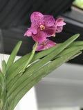Flores de la orquídea de Vanda Fotos de archivo