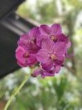 Flores de la orquídea de Vanda Imagen de archivo