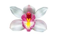 Flores de la orquídea del Cymbidium sobre el fondo blanco Fotos de archivo libres de regalías