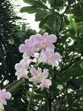 Flores de la orquídea del Dendrobium Foto de archivo