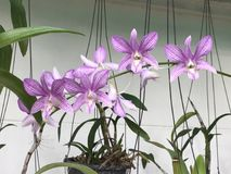 Flores de la orquídea del Dendrobium Imágenes de archivo libres de regalías