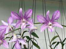 Flores de la orquídea del Dendrobium Imagen de archivo libre de regalías