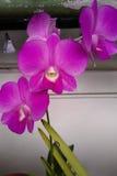 Flores de la orquídea en jardín Fotos de archivo libres de regalías