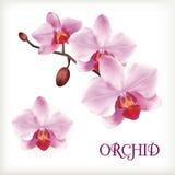 Flores de la orquídea fijadas Fotografía de archivo libre de regalías