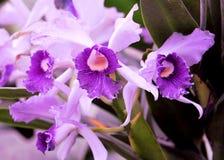Flores de la orquídea, la Florida Imagen de archivo
