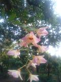 Flores de la orquídea de Lampung Fotos de archivo libres de regalías