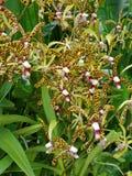 Flores de la orqu?dea de Aranda Bertha Braga en Singapur fotos de archivo libres de regalías