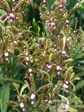 Flores de la orqu?dea de Aranda Bertha Braga en Singapur fotos de archivo