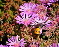 Flores de la púrpura de la abeja Fotos de archivo