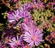 Flores de la púrpura de la abeja Imagen de archivo libre de regalías