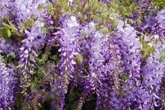 Flores de la púrpura de la glicinia Imagen de archivo libre de regalías
