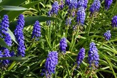 Flores de la púrpura de los jacintos de uva Foto de archivo libre de regalías