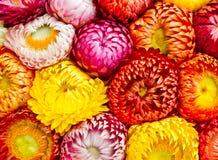 Flores de la paja o eterno Fotos de archivo