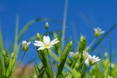 Flores de la pamplina de la primavera Imagen de archivo