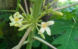 Flores de la papaya fotografía de archivo