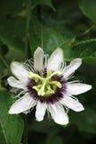 Flores de la pasionaria. Foto de archivo libre de regalías