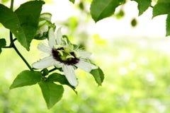 Flores de la pasionaria. Imagen de archivo libre de regalías
