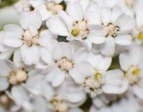 Flores de la pastinaca de vaca Fotos de archivo libres de regalías