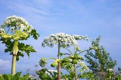 Flores de la pastinaca de vaca Fotografía de archivo libre de regalías