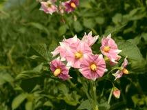 Flores de la patata Fotos de archivo