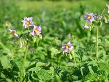 Flores de la patata Fotografía de archivo