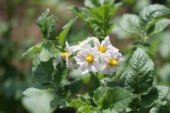 Flores de la patata fotos de archivo libres de regalías