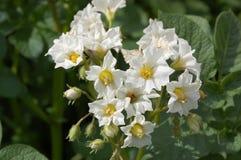 Flores de la patata blanca Imagenes de archivo