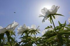Flores de la peonía de Wihte Fotografía de archivo