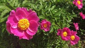 Flores de la peonía en jardín de la primavera